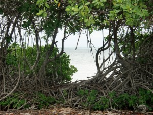 Mangrovebossen Lac Bay Foto: Wageningen University
