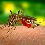 De aedes aegypti brengt zowel Chikungunya als Dengue over