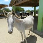 Er zijn indicaties dat de Bonairiaanse ezel tot een speciaal ezelsoort – Nubian Ass - behoort -foto: Belkis Osepa