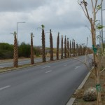 In tegenstelling tot de beweringen van Openbare Werken, staan de bomen niet op acht meter afstand van elkaar staan - foto: Michelle da Costa Gomez
