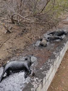 Dode geiten in de oliebrij van de overloop naast het asfaltmeertje - foto: Michelle da Costa Gomez