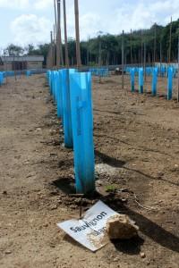 Deze druivenplantjes moeten uiteindelijk  Sauvignon blanc opleveren - foto: Anneke Polak