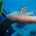 Het vangen van Lionfish vereist wel behendigheid, want de vis heeft giftige tentakels (foto: Mark Brown)