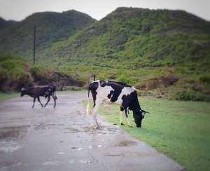 Eigenaren van loslopend vee riskeren een boete die de overheid nu zegt te gaan innen. Foto Elisa Koek